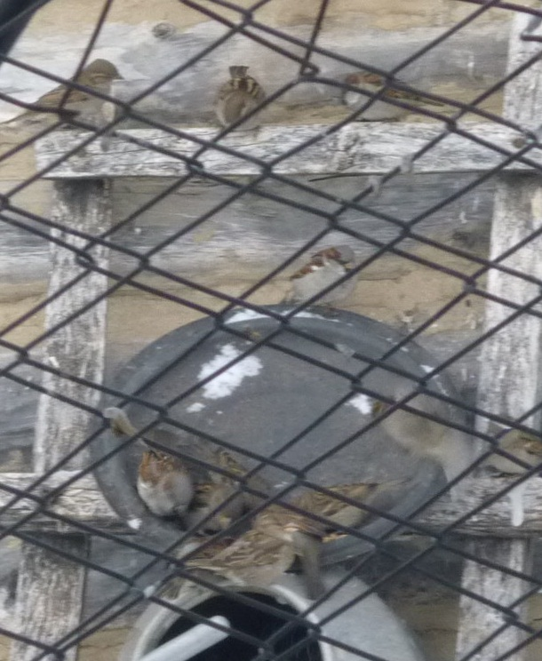 C:\Users\Владимировка1\Desktop\готовые фото птицы на кормушке\готовые фото, птицы на кормушке\P1040724.JPG