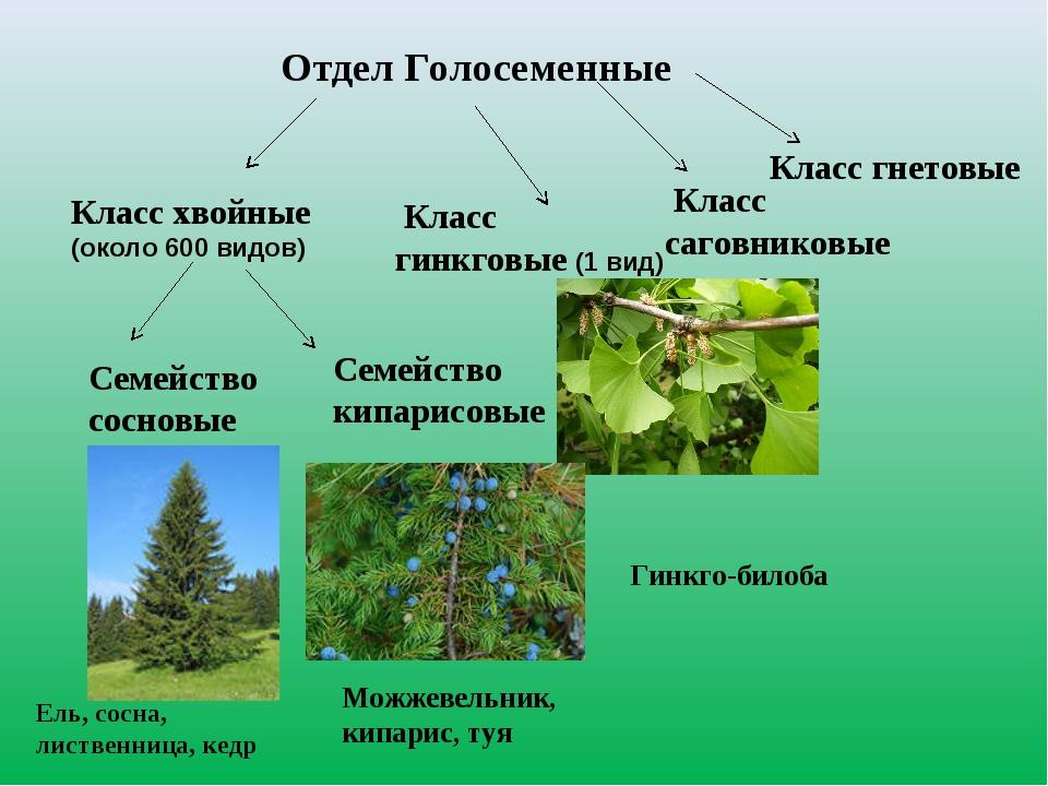 Отдел Голосеменные Класс хвойные (около 600 видов) Класс гинкговые (1 вид) Се...