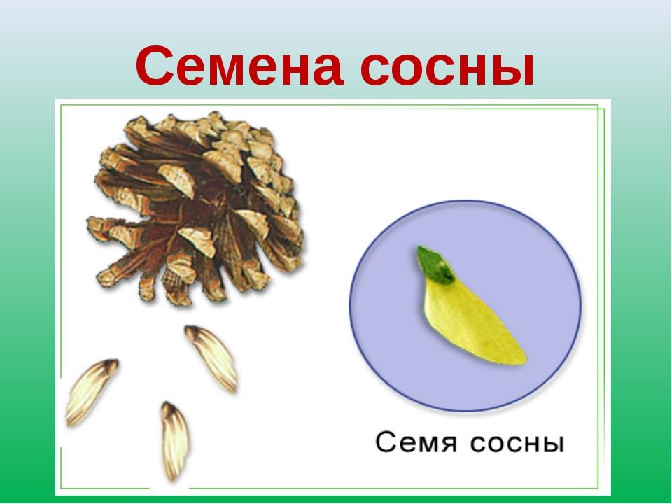 Семена сосны
