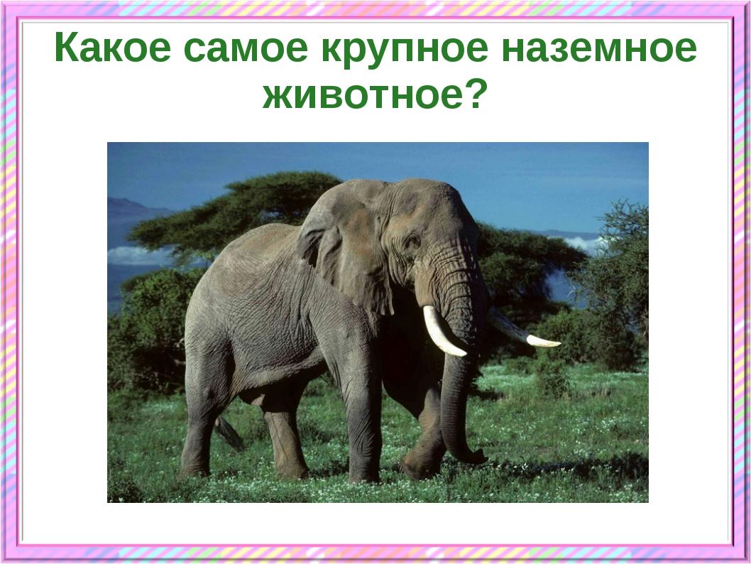 Какое самое крупное наземное животное?