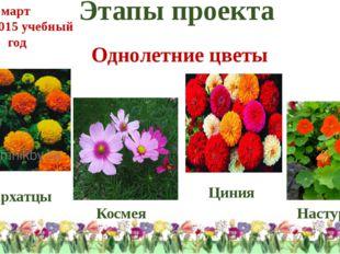 Этапы проекта Однолетние цветы Бархатцы Космея Циния Настурция март 2014-2015