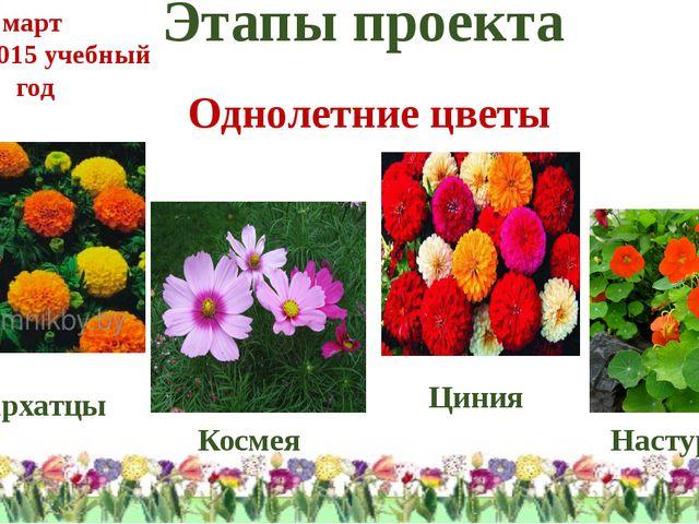 Этапы проекта Однолетние цветы Бархатцы Космея Циния Настурция март 2014-2015...