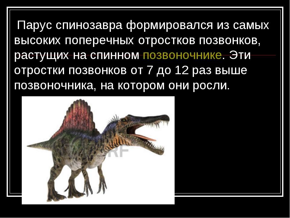 Парус спинозавра формировался из самых высоких поперечных отростков позвонко...