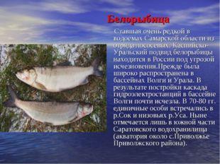 Белорыбица Ставшая очень редкой в водоемах Самарской области из отряда лосос