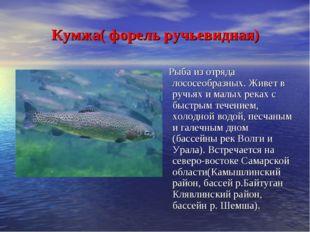 Кумжа( форель ручьевидная) Рыба из отряда лососеобразных. Живет в ручьях и м