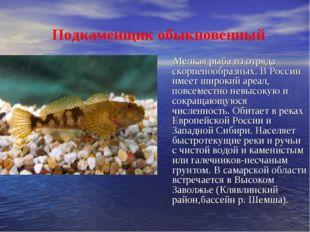 Подкаменщик обыкновенный Мелкая рыба из отряда скорпенообразных. В России им