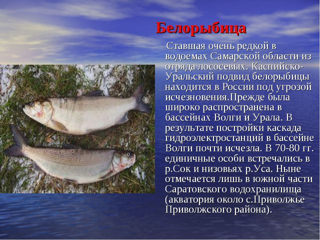Белорыбица Ставшая очень редкой в водоемах Самарской области из отряда лосос...