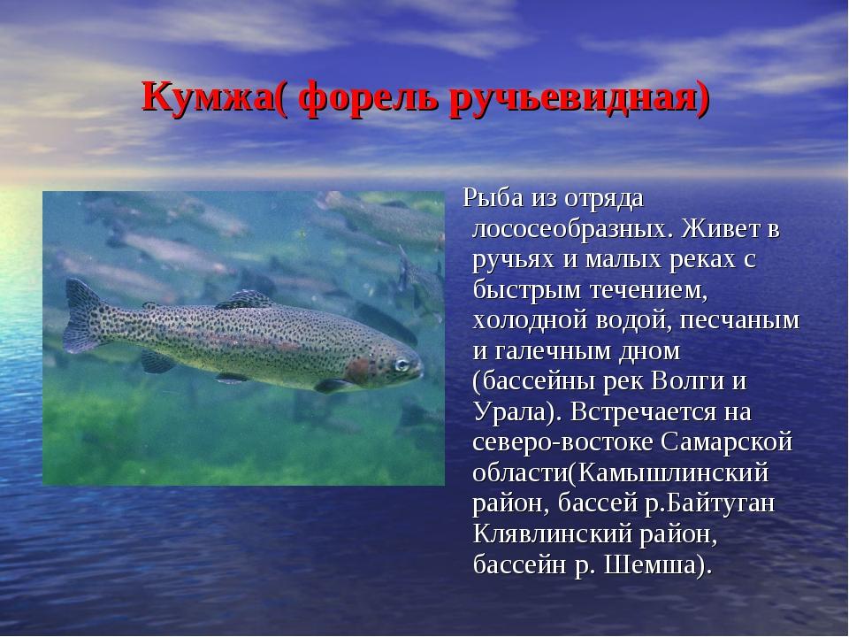Кумжа( форель ручьевидная) Рыба из отряда лососеобразных. Живет в ручьях и м...