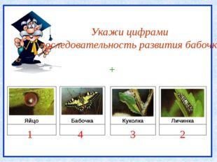 Укажи цифрами последовательность развития бабочки Яйцо Бабочка Куколка Личин