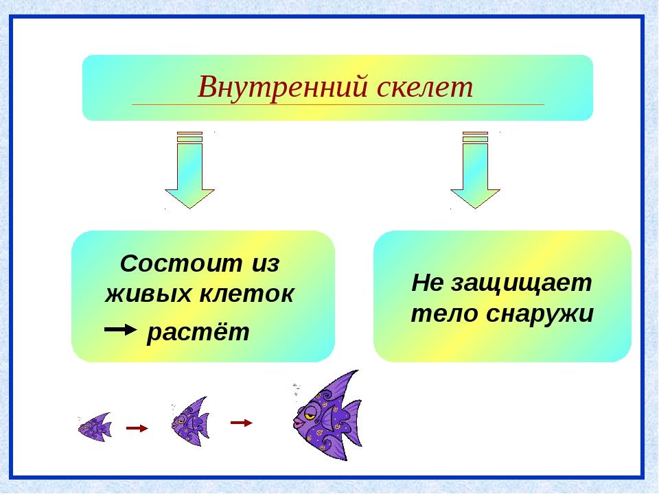 Внутренний скелет Не защищает тело снаружи Состоит из живых клеток растёт