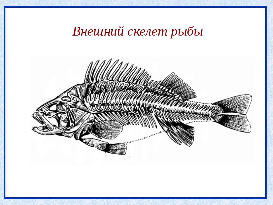 Внешний скелет рыбы