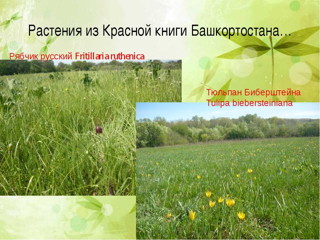 Растения из Красной книги Башкортостана… Рябчик русский Fritillaria ruthenica...