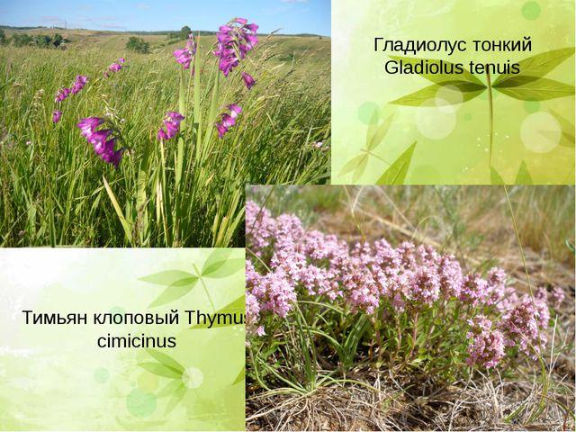 Гладиолус тонкий Gladiolus tenuis Тимьян клоповый Thymus cimicinus