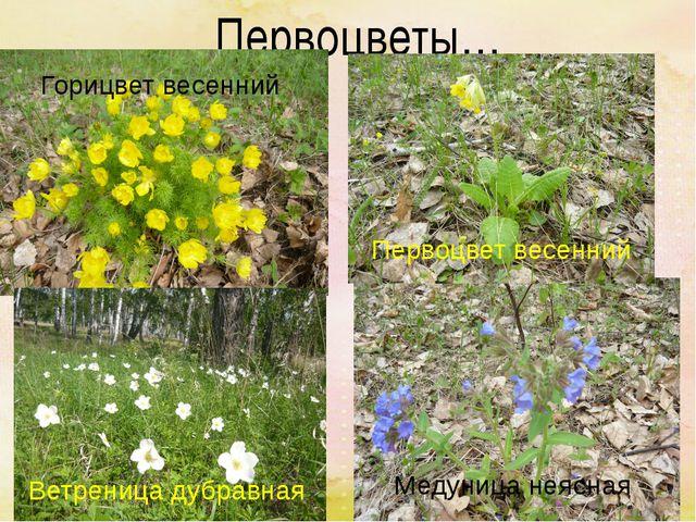Первоцветы… Медуница неясная Первоцвет весенний Ветреница дубравная Горицвет...