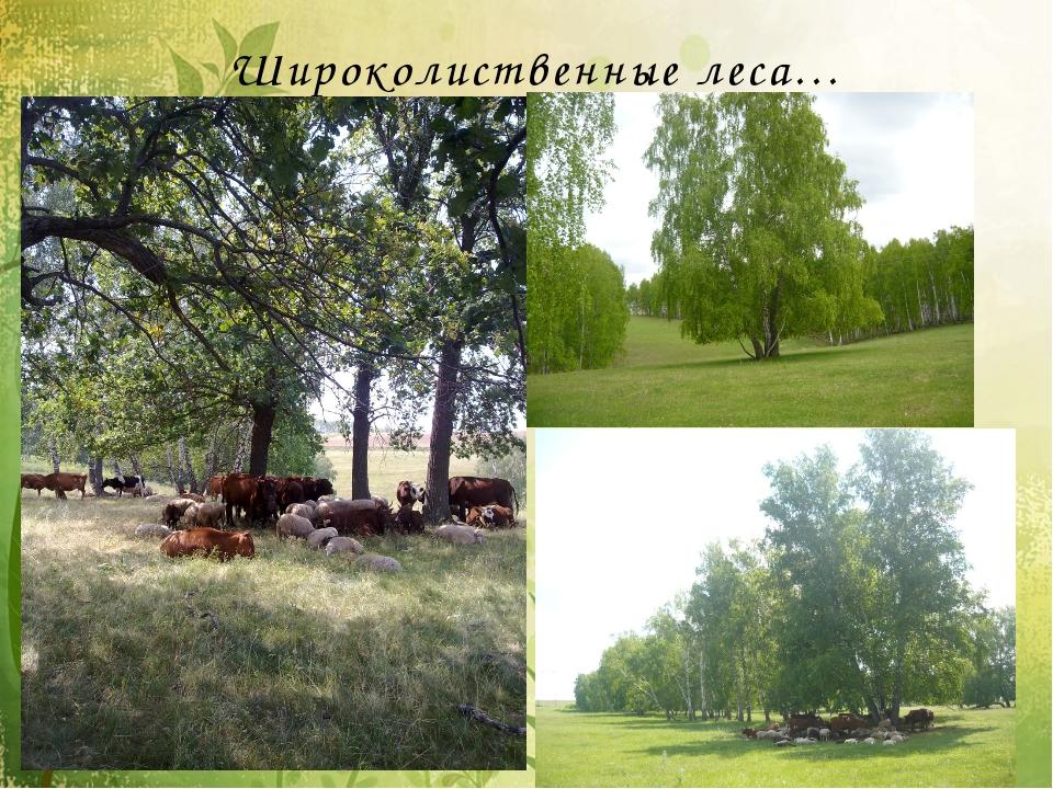 Широколиственные леса…