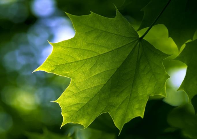 http://abali.ru/wp-content/uploads/2011/03/zeleniy_klenoviy_list_Maple_Leaf_1024x768.jpg