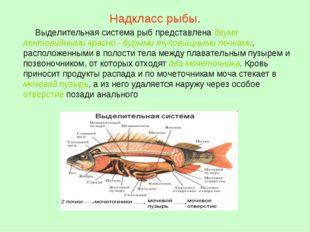 Надкласс рыбы. Выделительная система рыб представлена двумя лентовидными крас