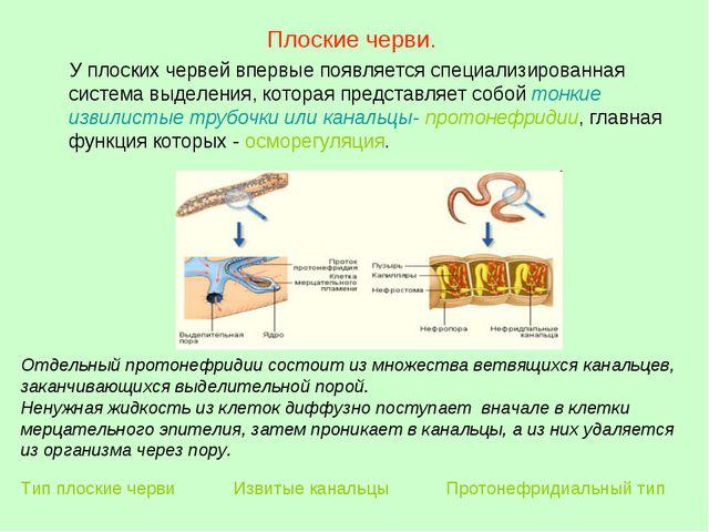 Плоские черви. У плоских червей впервые появляется специализированная система...