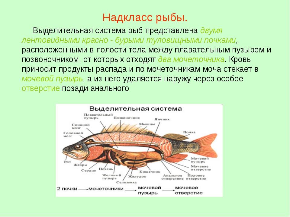 Надкласс рыбы. Выделительная система рыб представлена двумя лентовидными крас...