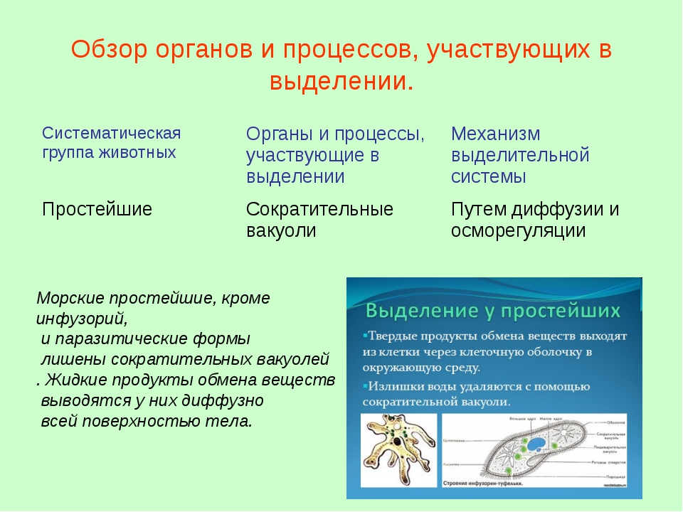 Обзор органов и процессов, участвующих в выделении. Морские простейшие, кроме...