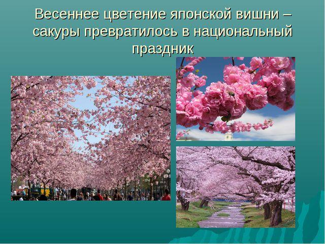Весеннее цветение японской вишни – сакуры превратилось в национальный праздник