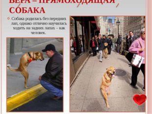 Собака родилась без передних лап, однако отлично научилась ходить на задних л