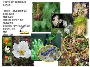 Растения верховых болот: сосна - род хвойных деревьев морошка клюква болотна
