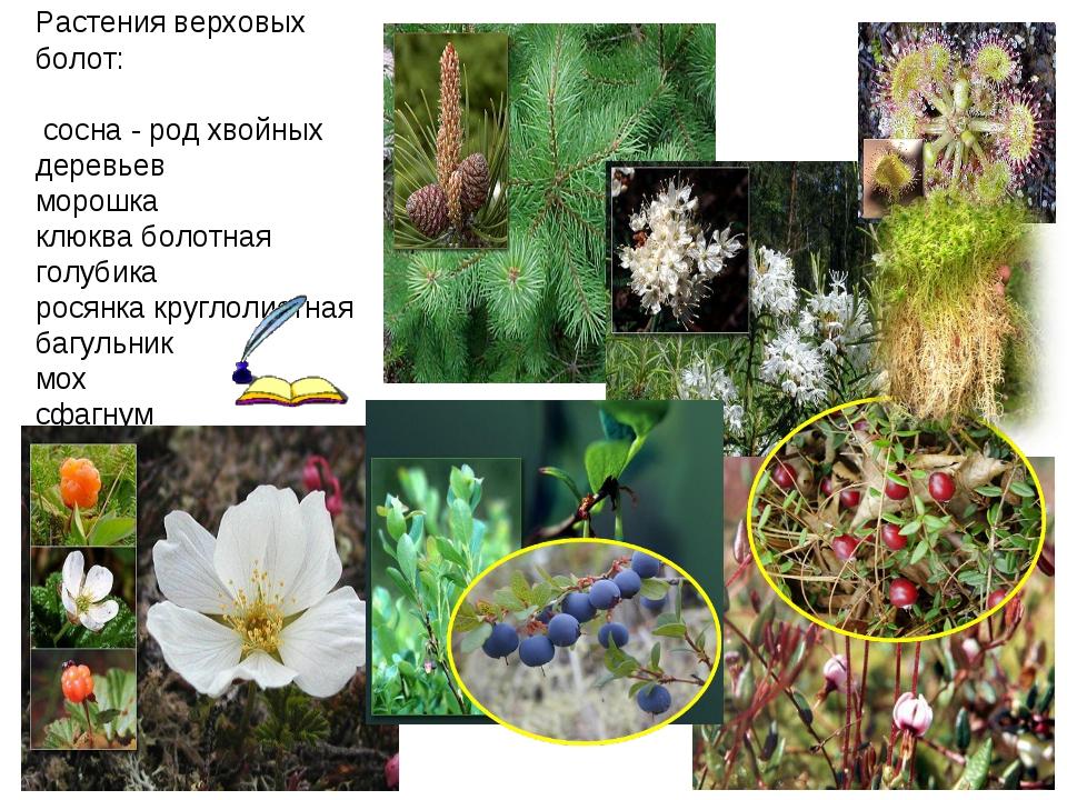 Растения верховых болот: сосна - род хвойных деревьев морошка клюква болотна...