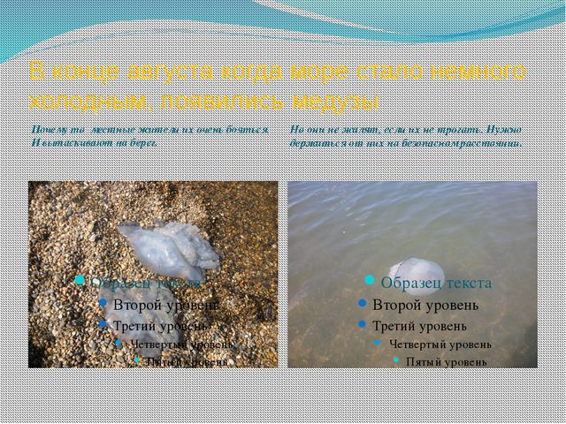 В конце августа когда море стало немного холодным, появились медузы Почему то...