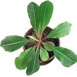 http://fon2.ru/KAKTUS/image_sukk/Euphorbia-leuconeura-1.jpg