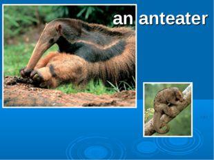 an anteater