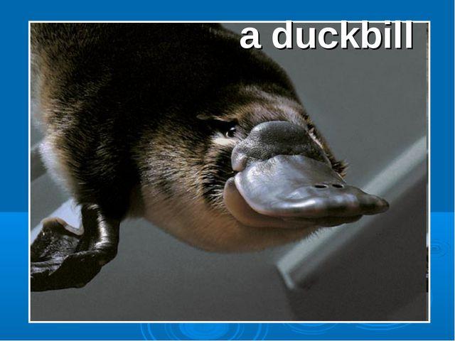 a duckbill