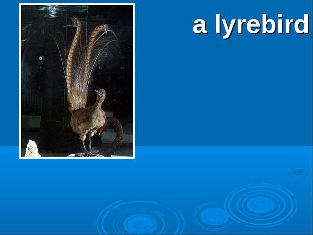 a lyrebird