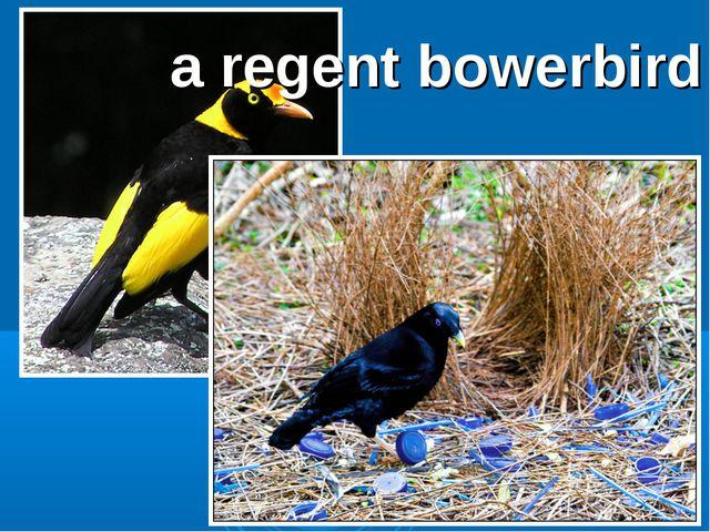 a regent bowerbird