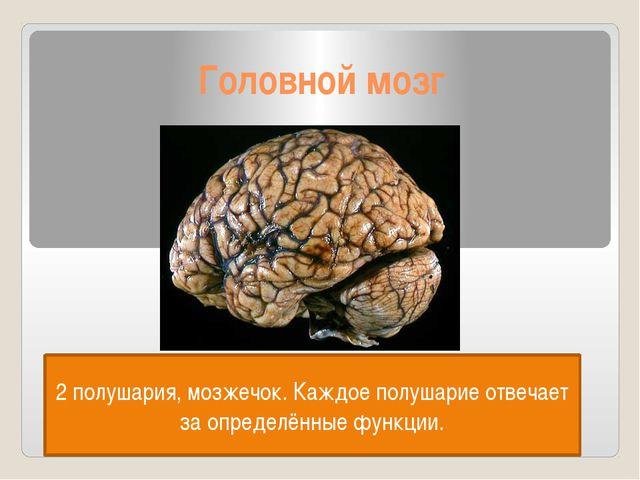 Головной мозг 2 полушария, мозжечок. Каждое полушарие отвечает за определённы...