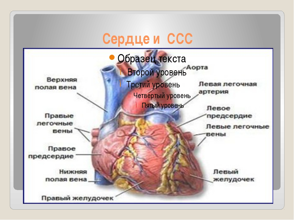 Сердце и ССС