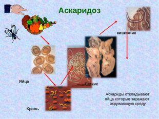Аскаридоз кишечник Кровь Легкие Яйца Аскариды откладывают яйца которые заража