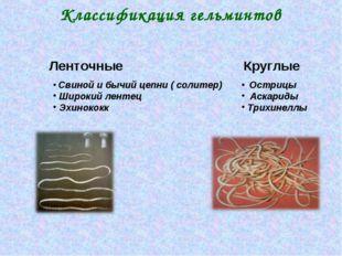 Классификация гельминтов Ленточные Свиной и бычий цепни ( солитер) Широкий ле