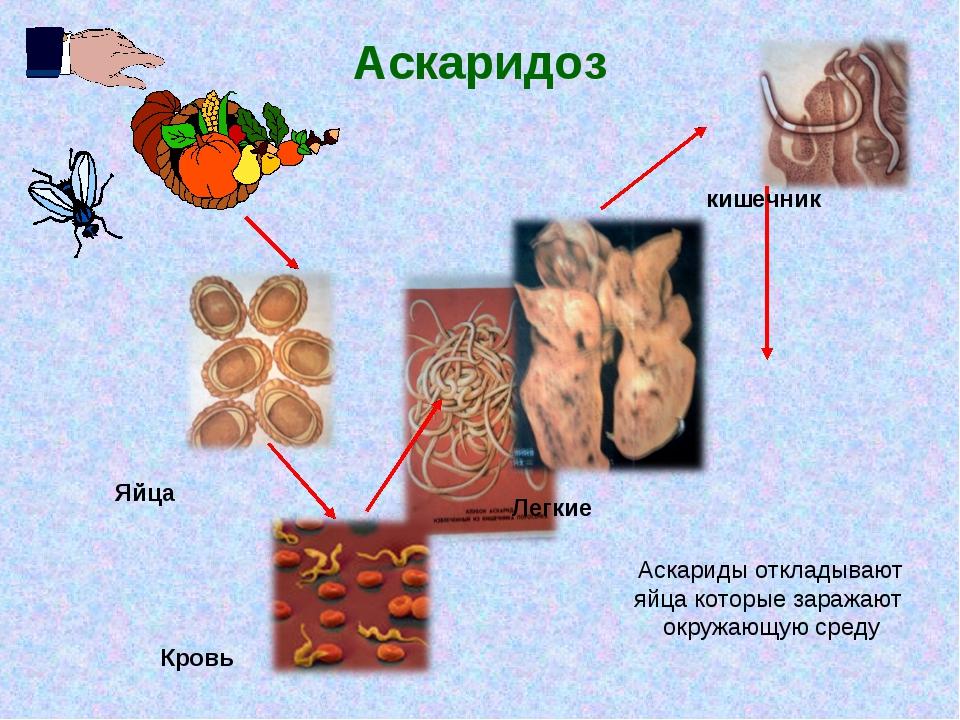 Аскаридоз кишечник Кровь Легкие Яйца Аскариды откладывают яйца которые заража...