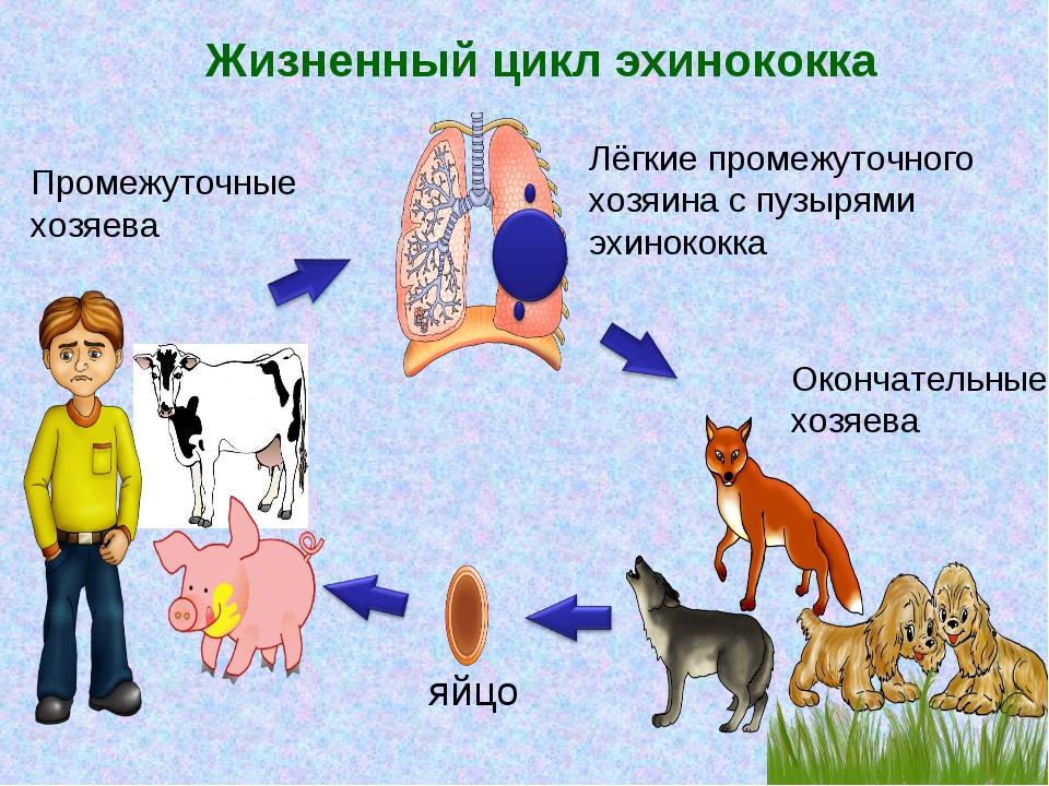 Эхинококк схема жизненного цикла