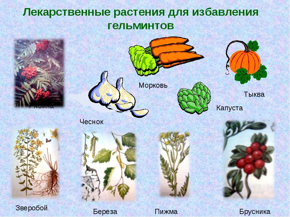 Лекарственные растения для избавления гельминтов Рябина Капуста Зверобой Бере...