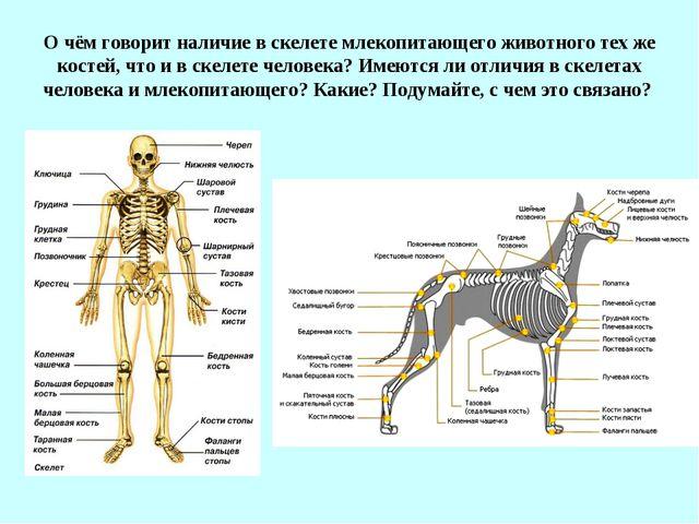 О чём говорит наличие в скелете млекопитающего животного тех же костей, что и...