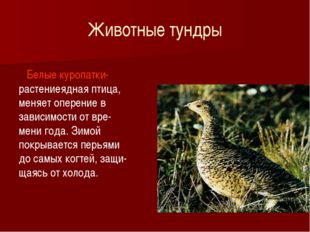 Животные тундры Белые куропатки- растениеядная птица, меняет оперение в завис