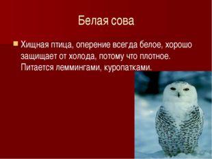 Белая сова Хищная птица, оперение всегда белое, хорошо защищает от холода, по