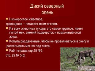 Дикий северный олень Низкорослое животное, травоядное – питается мхом-ягелем.