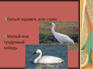 Белый журавль или стрех Малый или тундровый лебедь
