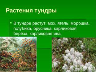 Растения тундры В тундре растут: мох, ягель, морошка, голубика, брусника, кар