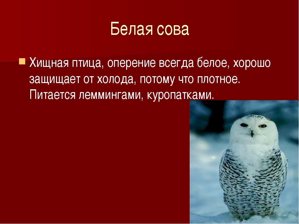 Белая сова Хищная птица, оперение всегда белое, хорошо защищает от холода, по...