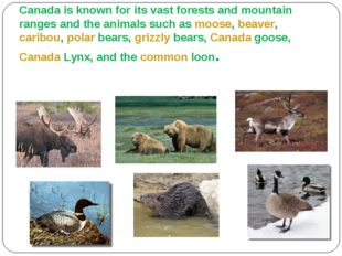 Animals Canada is known for its vast forests and mountain ranges and the ani