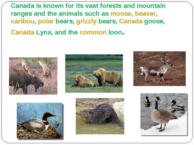 Animals Canada is known for its vast forests and mountain ranges and the ani...